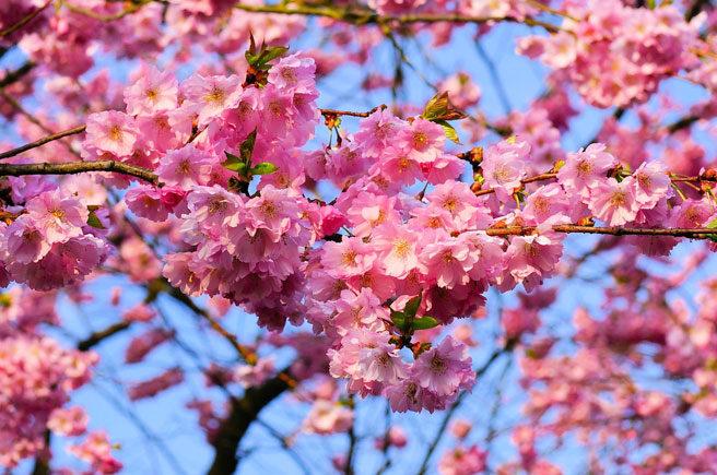 Cerejeiras-Japonesas-Sakura